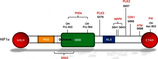 Structure-of-HIF1a-Diagram-highlighting-the-structural-domains-of-HIF1a